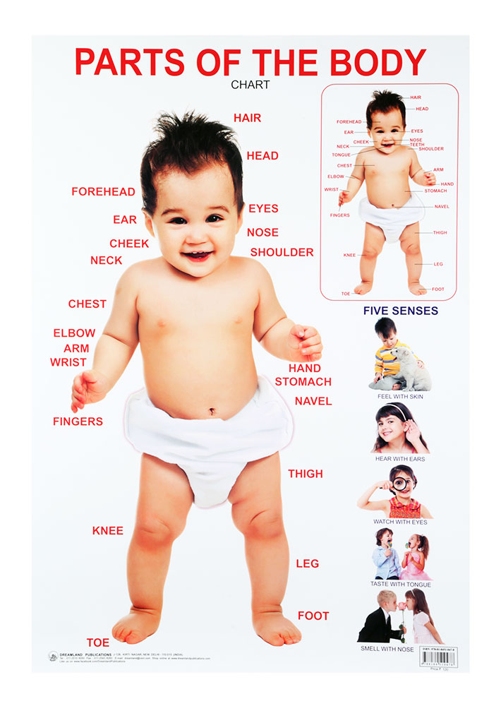Buy Dreamland Parts Of The Body Chart Online In India Kheliya Toys